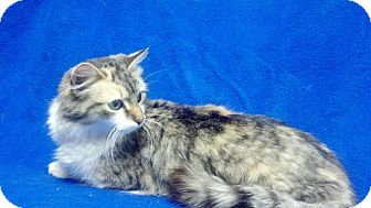 Domestic Longhair Cat for adoption in East Hanover, New Jersey - Willow - Arriving April 7th