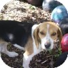 Beagle Dog for adoption in Pittsburgh, Pennsylvania - Isabelle