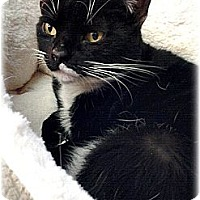Domestic Shorthair Cat for adoption in Huntington, New York - Stewella