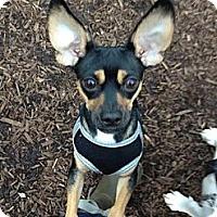 Adopt A Pet :: Rocket - Los Angeles, CA