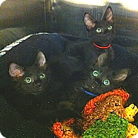 Adopt A Pet :: Wynken, Blynken and Nod - Gilbert, AZ