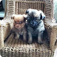 Adopt A Pet :: Sirius - Sacramento, CA