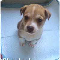Adopt A Pet :: Sherlock - Houston, TX