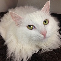 Domestic Longhair Cat for adoption in Newport Beach, California - Cici