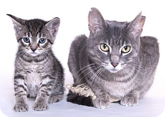 Domestic Shorthair Cat for adoption in Libertyville, Illinois - Cuddles & Squirt