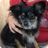 Adopt A Pet :: Little Man - Inverness, FL