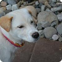 Adopt A Pet :: Lilac - Harrisburg, PA