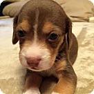 Adopt A Pet :: Baby Blue's Booker