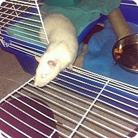Adopt A Pet :: JINX - Philadelphia, PA