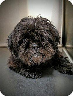 Shih Tzu Dog for adoption in Newark, Delaware - Raven