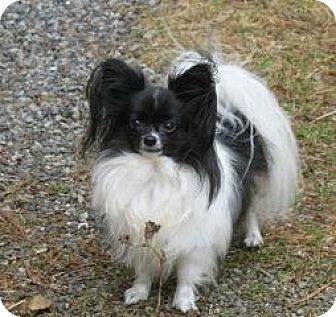 Papillon Dog for adoption in Grafton, New Hampshire - Bitsy (in New Hampshire)