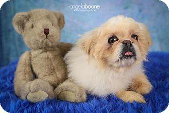 Pekingese Dog for adoption in Inver Grove, Minnesota - Bear(Pooh Bear)