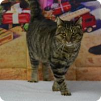 Domestic Shorthair Cat for adoption in Lebanon, Missouri - Tom