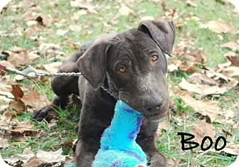 Labrador Retriever Mix Puppy for adoption in Minneola, Florida - Boo