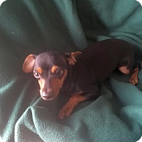 Miniature Pinscher/Affenpinscher Mix Puppy for adoption in Mesa, Arizona - ZIGGY - 7 MONTH MIN PIN MALE