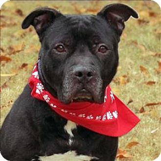 American Staffordshire Terrier Mix Dog for adoption in Raleigh, North Carolina - Brahms