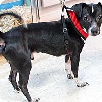 Adopt A Pet :: Joey - Mt. Prospect, IL