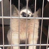Adopt A Pet :: Lovey Dovey - Oswego, IL