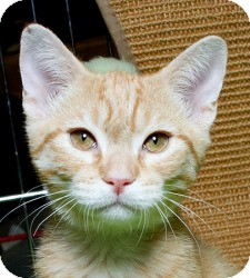 Domestic Shorthair Kitten for adoption in Sacramento, California - Ivan M