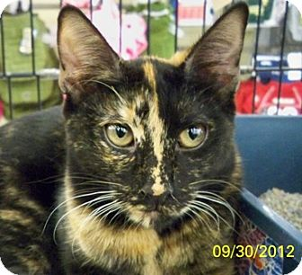 Domestic Shorthair Cat for adoption in Sacramento, California - Kayla Roo