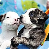 Adopt A Pet :: Heinz 57 litter - Reisterstown, MD