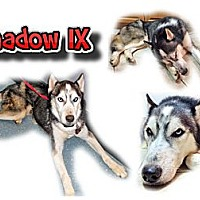 Adopt A Pet :: Shadow IX - Seminole, FL