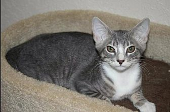 Domestic Shorthair Kitten for adoption in Sarasota, Florida - Candace