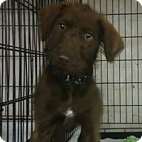 Adopt A Pet :: Major - House Springs, MO