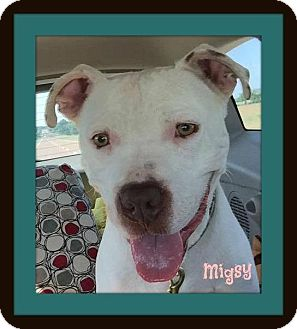 Pit Bull Terrier Mix Puppy for adoption in Memphis, Tennessee - Migsy