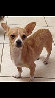 Chihuahua Mix Dog for adoption in West Palm Beach, Florida - Honey