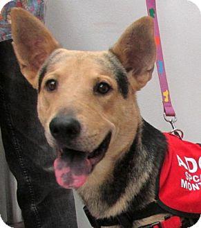 German Shepherd Dog/Australian Cattle Dog Mix Dog for adoption in Conroe, Texas - Bullit