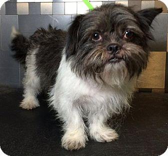 Shih Tzu/Standard Schnauzer Mix Dog for adoption in McKinney, Texas - Tim McGraw
