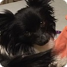 Adopt A Pet :: Luna (in Maryland)