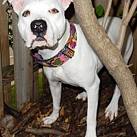 American Pit Bull Terrier/American Bulldog Mix Dog for adoption in O'Fallon, Missouri - Ninja *Great running buddy*