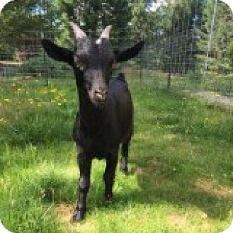 Goat for adoption in Maple Valley, Washington - Ferdinand