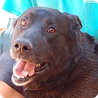 Labrador Retriever Mix Dog for adoption in Las Vegas, Nevada - Mitch