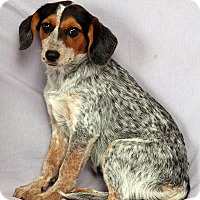 Adopt A Pet :: Kimber Heeler Mix - St. Louis, MO