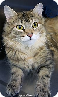 Domestic Longhair Cat for adoption in St Louis, Missouri - Starz
