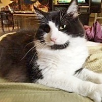 Domestic Longhair Cat for adoption in Hallandale, Florida - Jack