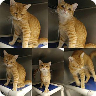 Domestic Shorthair Cat for adoption in Triadelphia, West Virginia - T-8