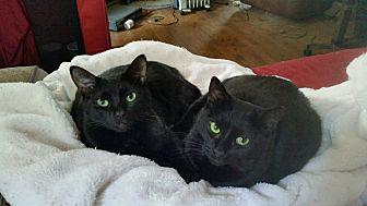 Domestic Shorthair Cat for adoption in Richmond, Virginia - Sassafras