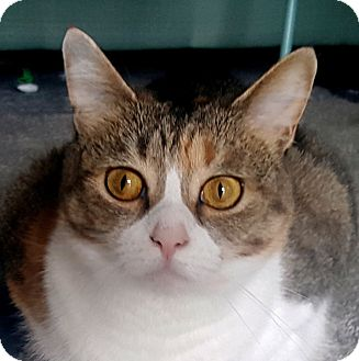 Domestic Shorthair Cat for adoption in Fairfax, Virginia - Emily Rose (and Norman)
