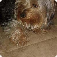 Adopt A Pet :: Molly - Goodyear, AZ