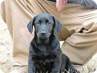 Dachshund/Labrador Retriever Mix Puppy for adoption in Berkeley Heights, New Jersey - Penny