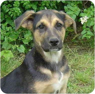 German Shepherd Dog/Labrador Retriever Mix Dog for adoption in Pike Road, Alabama - Scruffy