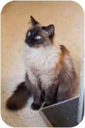 Himalayan Cat for adoption in St. Charles, Missouri - Bindi