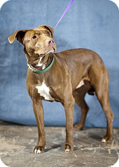 Retriever (Unknown Type)/American Pit Bull Terrier Mix Dog for adoption in Westminster, Colorado - Genie