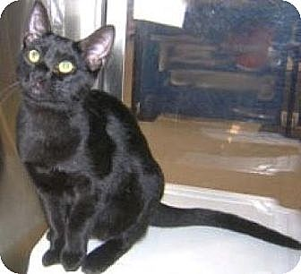 Domestic Shorthair Cat for adoption in Miami, Florida - Michelle