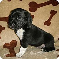 Adopt A Pet :: Hercules - Novi, MI