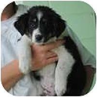 Adopt A Pet :: Aris - New Boston, NH